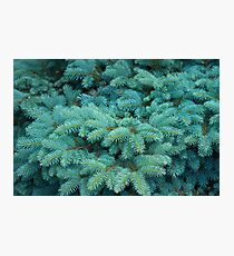 Branches of blue spruce Photographic Print