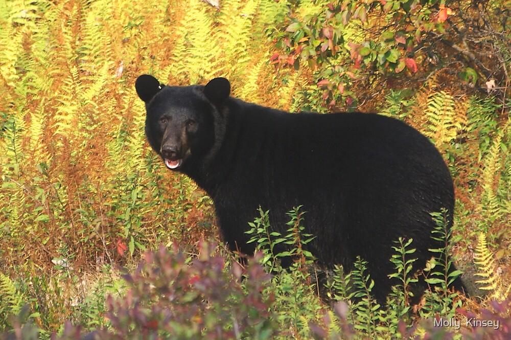 Autumn Black Bear by Molly  Kinsey
