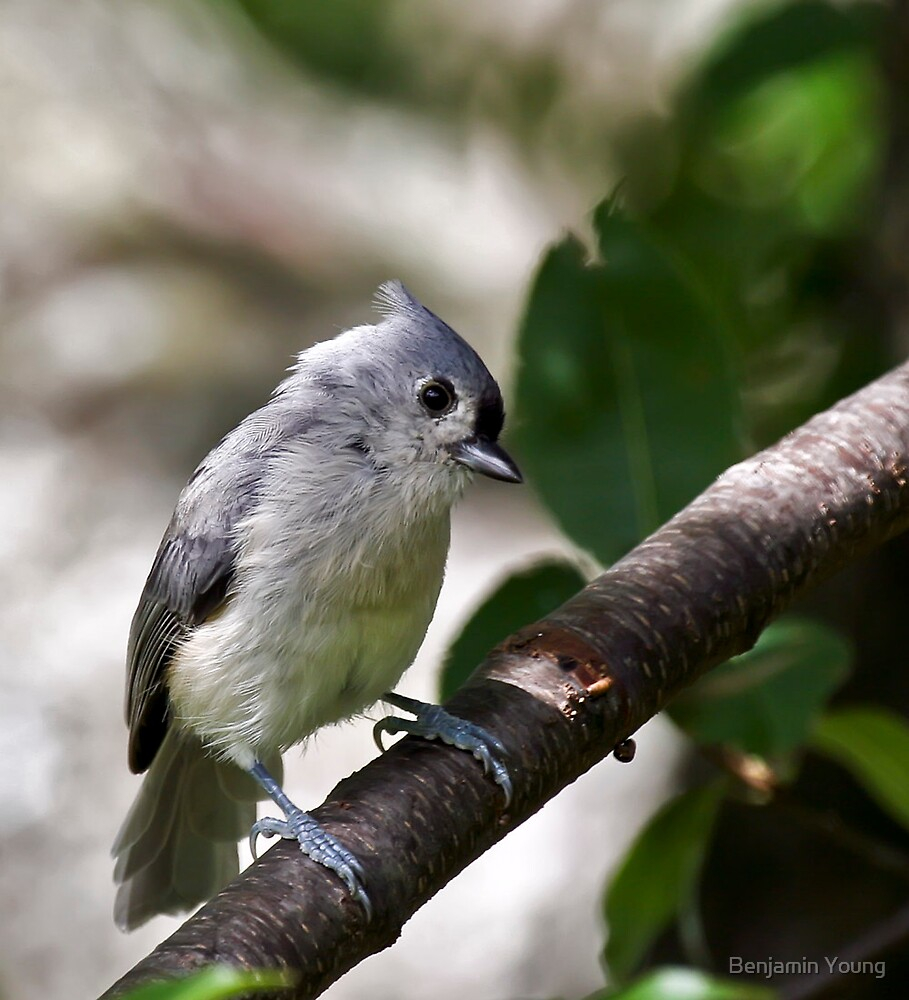 Titmouse by Benjamin Young