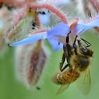 Bee on Borage Flower by relayer51