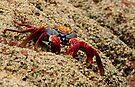 Sally Lightfoot Crab by Steve Bulford