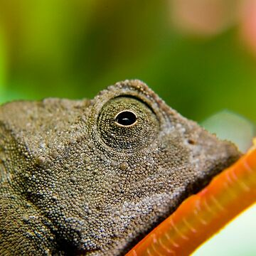 Pygmy bearded chameleon by reptilesink