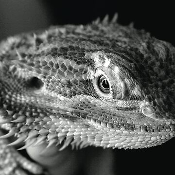 Bearded Dragon by xTRIGx