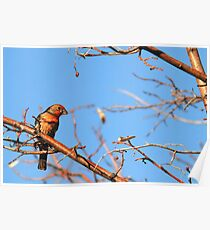 House Finch Male - Blue Skies Poster