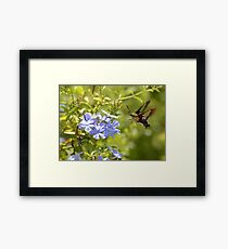 Hummingbird Moth in Flight Framed Print