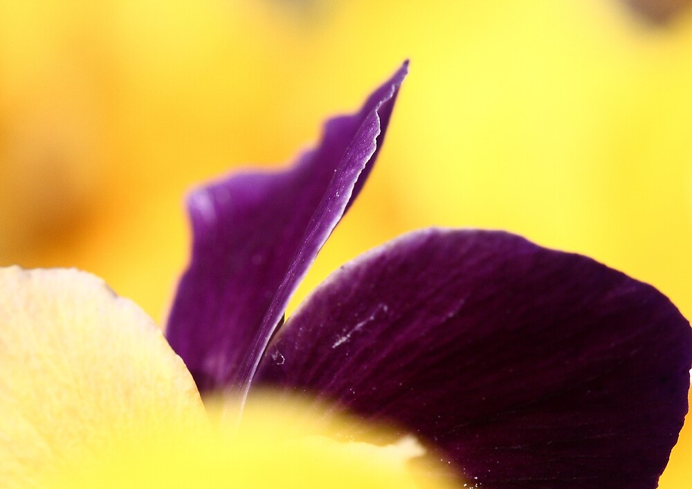 Purple and yellow by torimages