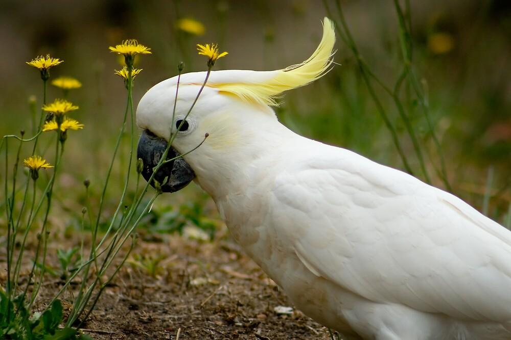 Sulphur crested Cockatoo by Yorrik