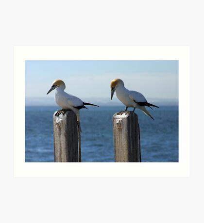 Wildlife : Birds - Australian Gannet 'Sula Serrator' Art Print