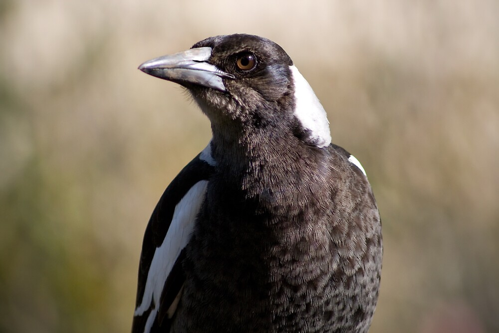 Australian Magpie by Yorrik