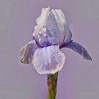 Iris in Lavender by Floyd Hopper