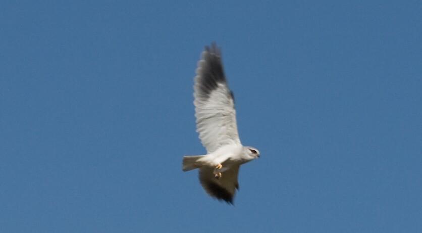 Black-shouldered Kite by Paul Lindenberg