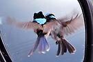 Twins - Superb Fairy-wren by Ian Berry