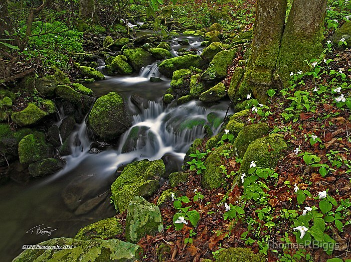 Trillium along Porters Creek by ThomasRBiggs