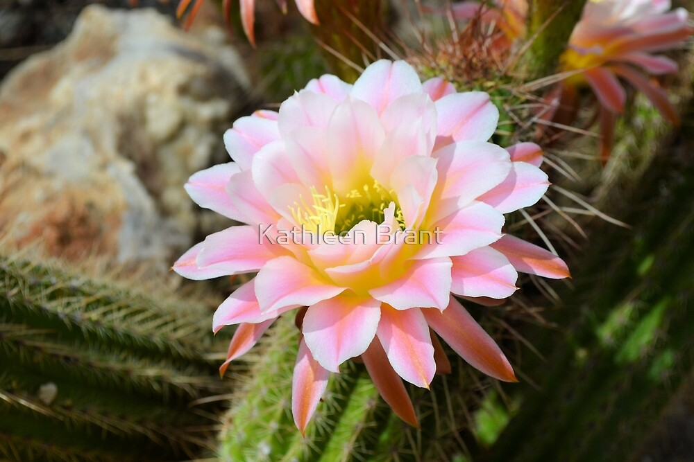 Pale Pink Torch Cactus Flower by Kathleen Brant