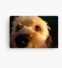 Boris the Cavoodle Canvas Print