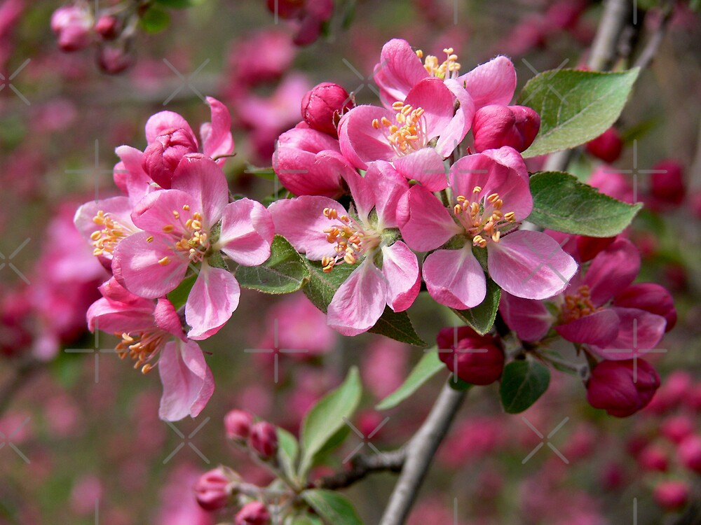 Crab Apple Blossoms by Rachel Leigh
