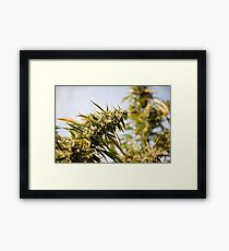 Cannabis flower (Cannabis sativa) Framed Print