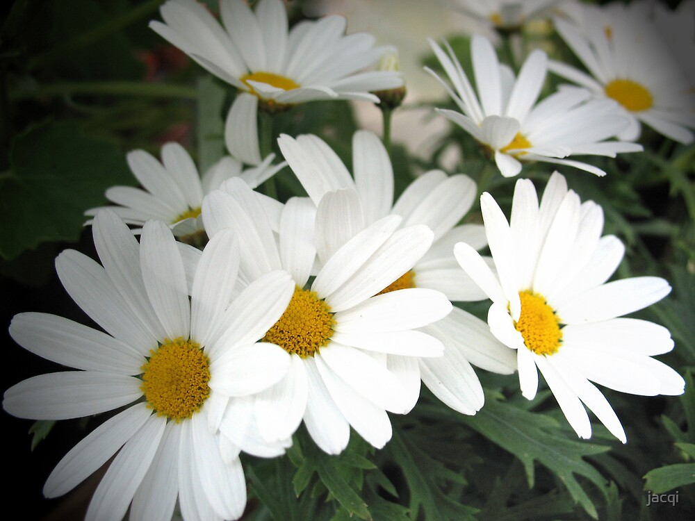White Daisies by jacqi