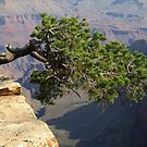 Nature's Own Bonsai over the Grand Canyon, Arizona, Image 01 by Keith Richardson
