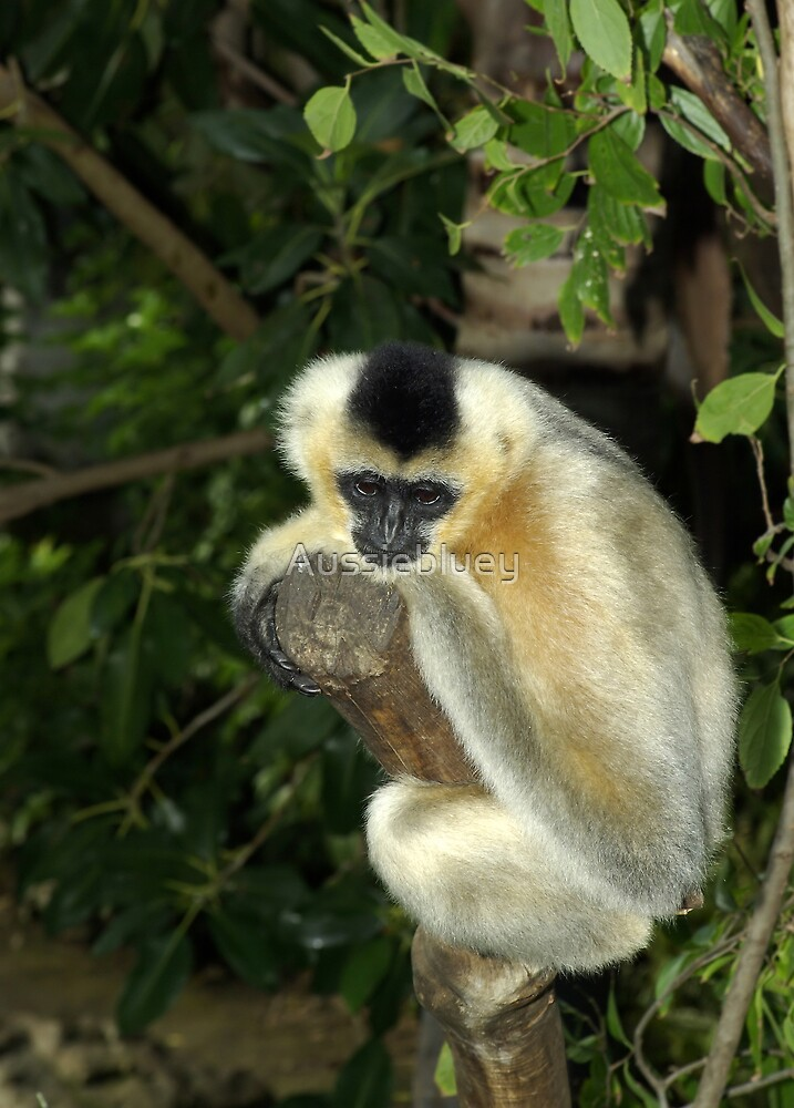 White Cheek Gibbon. by Aussiebluey
