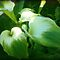 Cluster Calla Lilies - Gorgeous Flower Cards*