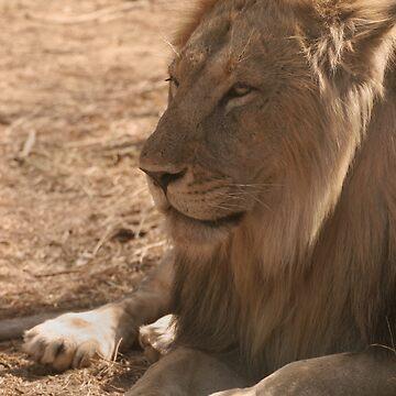 Resting Lion by SteveBulford