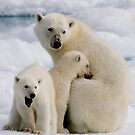 Polar Bear and Cubs    by Steve Bulford