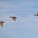 Flying Ducks by AnnDixon