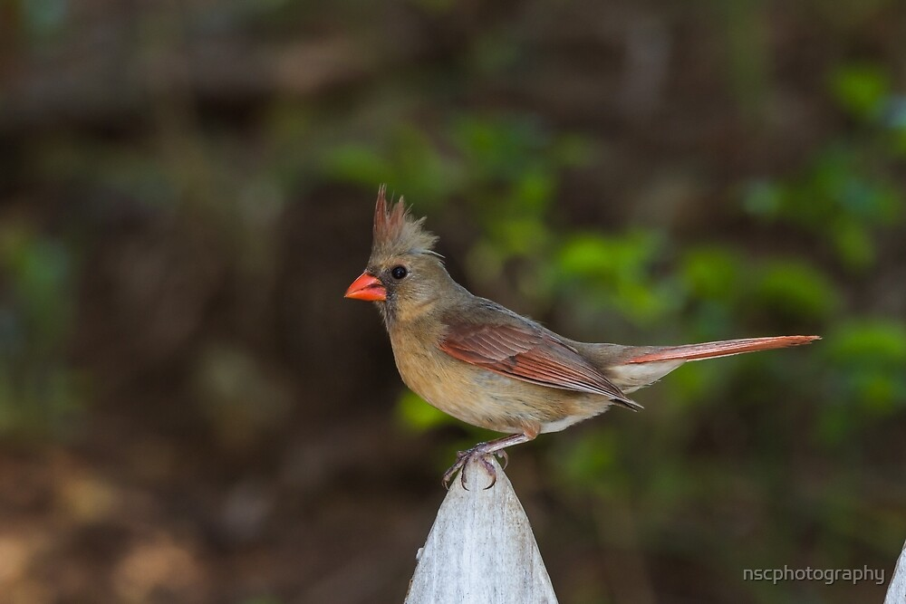 Female Northern Cardinal on fence by nscphotography