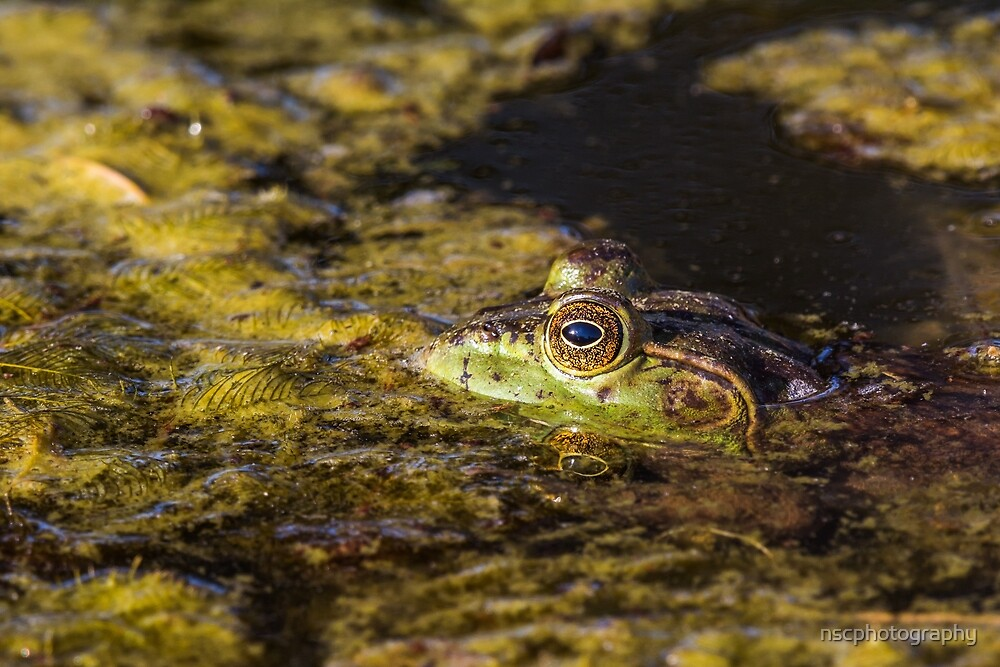 Bullfrog in the water by nscphotography