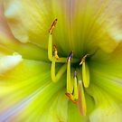 Daylily by alan shapiro