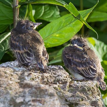 Baby easter phoebe birds by nscphotography