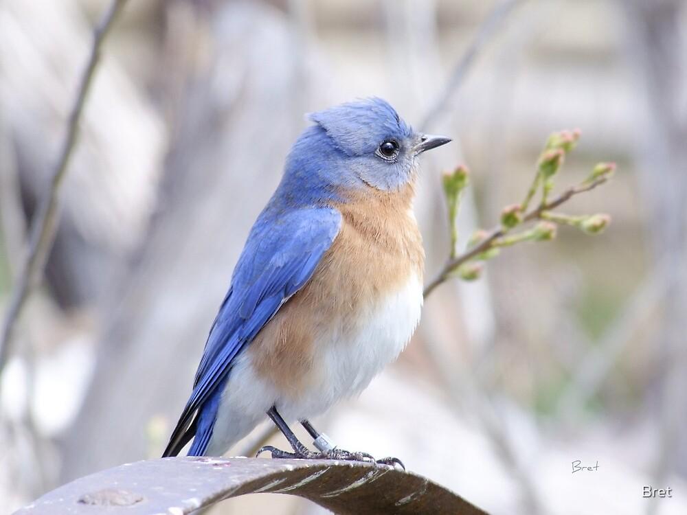 Bluebird by Bret