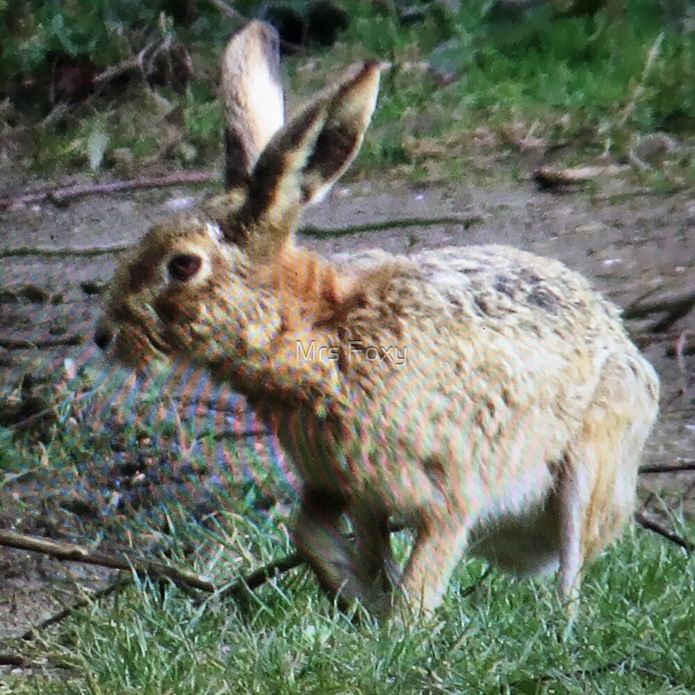 Brown Hare (Lepus europaeus) by Mrs Foxy