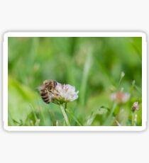 Honeybee on small white clover flower Sticker