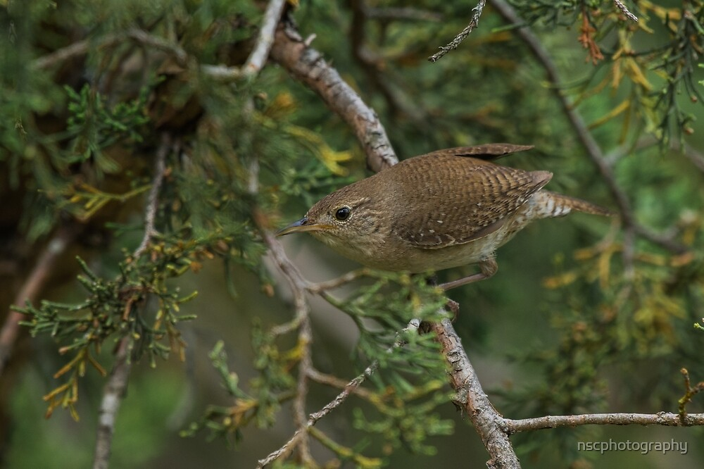 House wren by nscphotography
