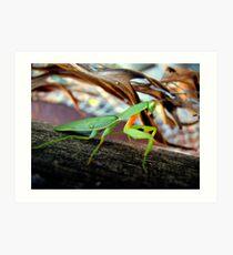 Preying mantis Art Print