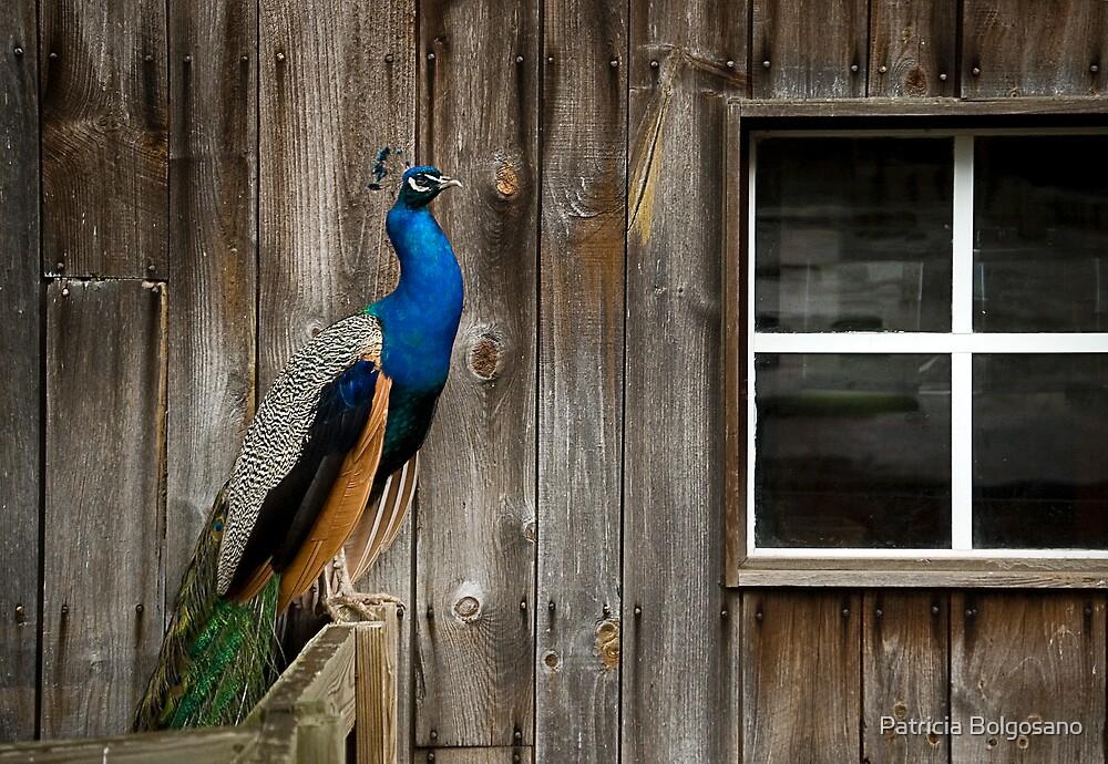 Peacock by Patricia Bolgosano