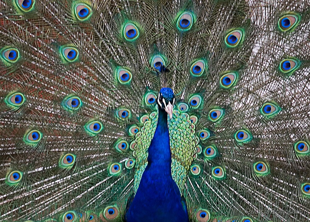 Peacock Three by Patricia Bolgosano