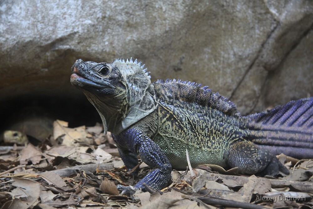 Lizard from  Taronga Zoo. by Alexey Dubrovin