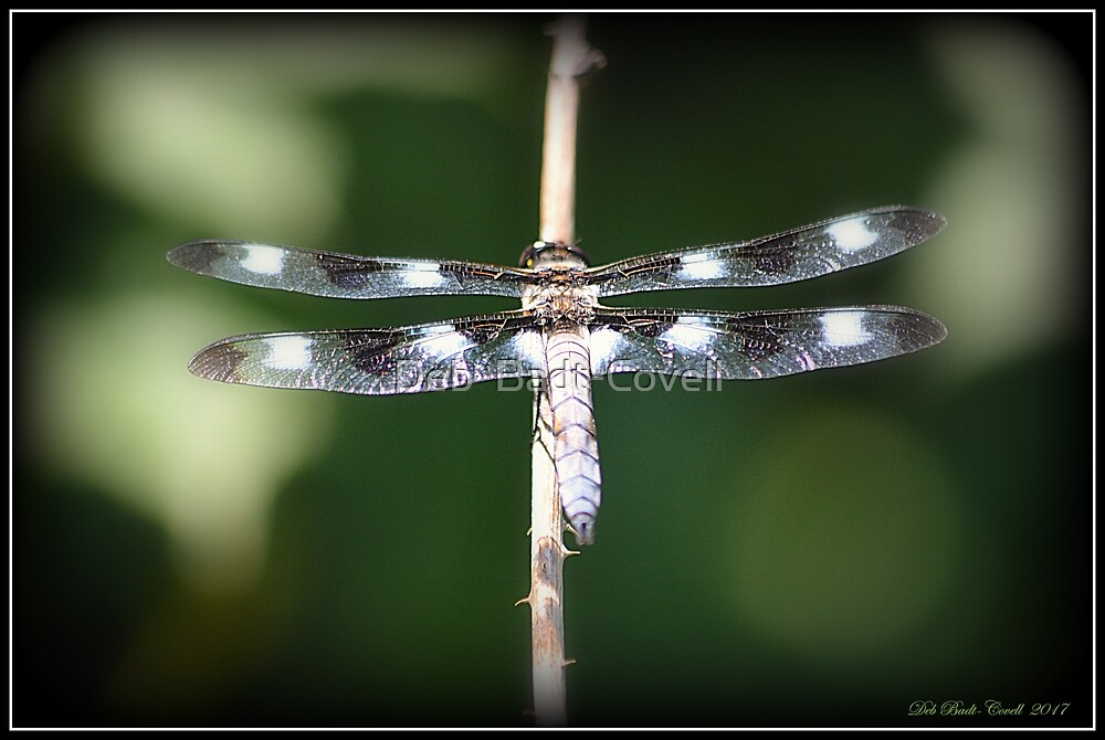 12-Spotted Skimmer Dragonfly (Male) by Deb  Badt-Covell