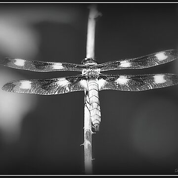 12-Spotted Skimmer Dragonfly (Male) - in Black and White by Badtgirl