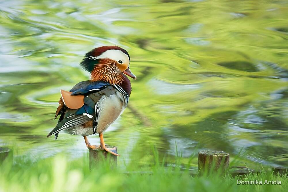Mandarin Duck by Dominika Aniola