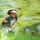 Mandarin Duck by Dominika Aniola