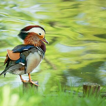 Mandarin Duck by domcia