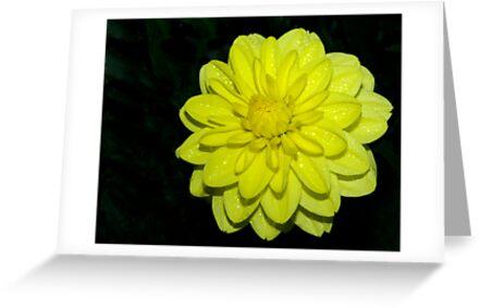 Yellow Dahlia by Aussiebluey