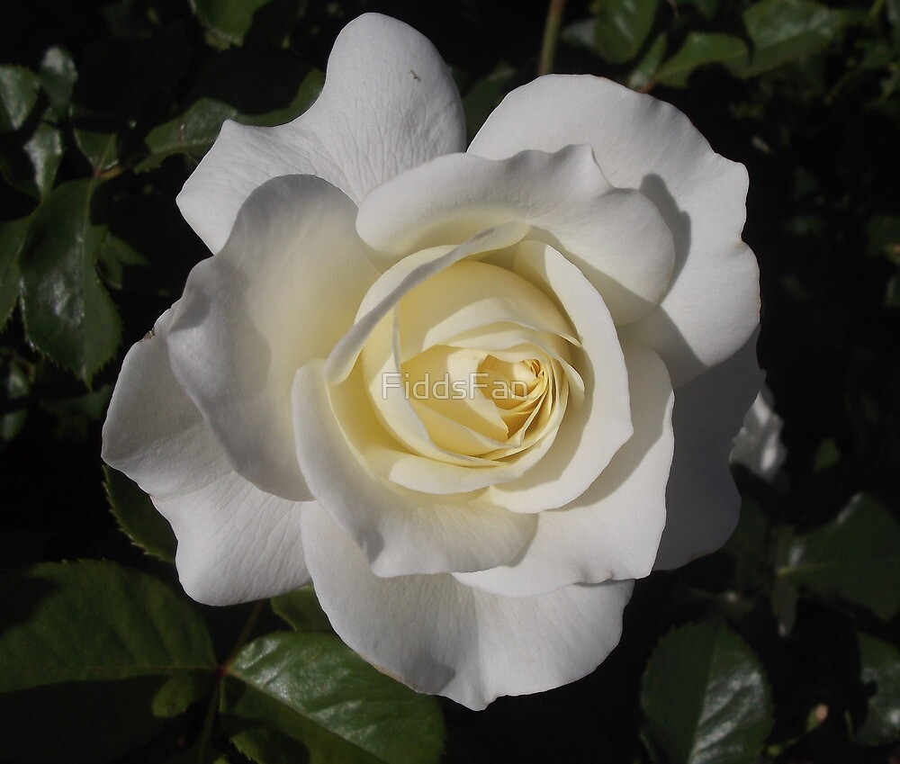 Lovely white rose by FiddsFan