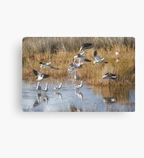 Avocets Take-off Canvas Print