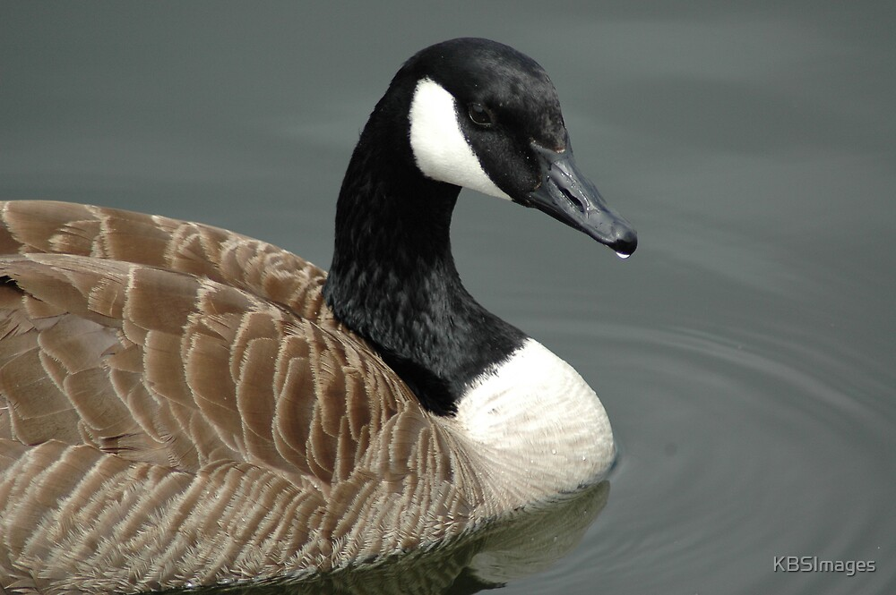 Canadian Goose by KBSImages