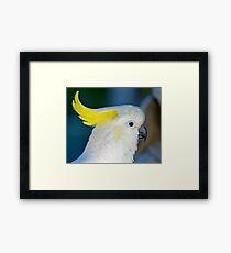 Sulphur-crested Cockatoo Framed Print